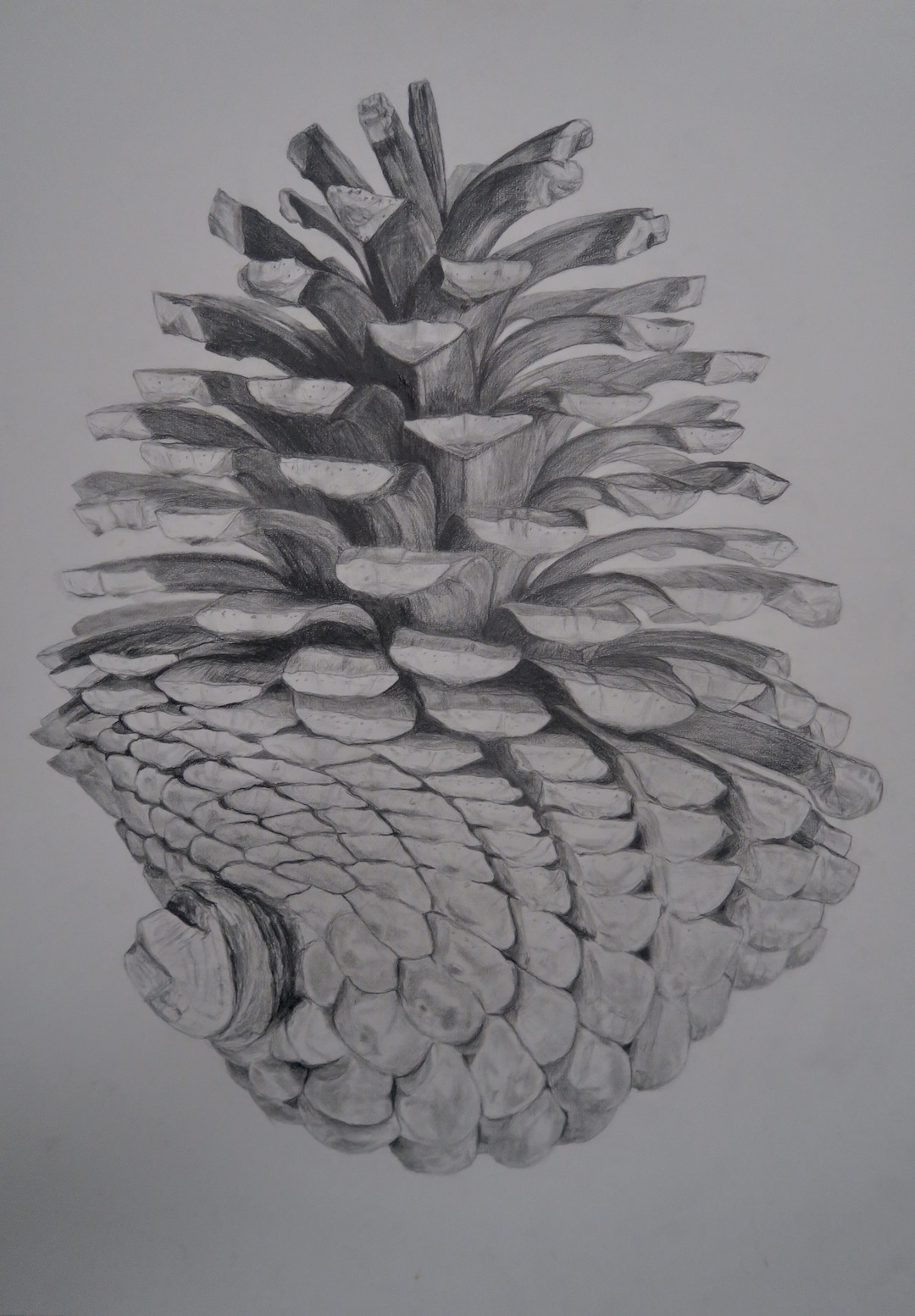 Drawing of Pinecone by Niko Dujmovic